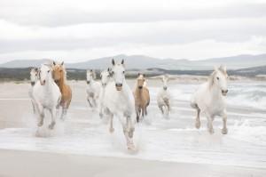 8 986 white horses ma 300x199 Nouvelle collection : Papiers peints XXL Imagine Ed. 2