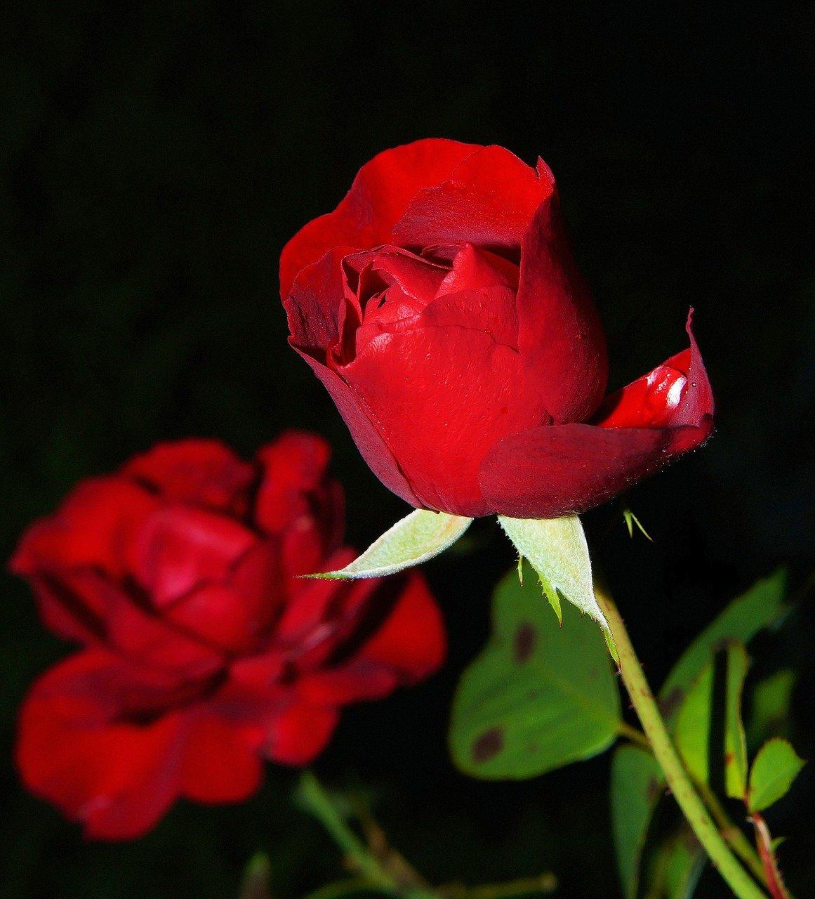 La rose éternelle, une plante naturelle